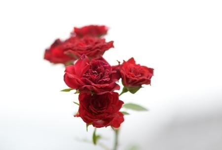 rose20171107-3.jpg