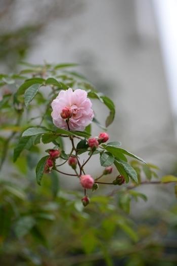 rose20171107-5.jpg