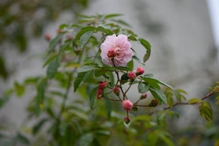 rose20171107-6.jpg
