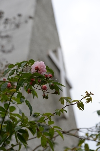 rose20171107-7.jpg
