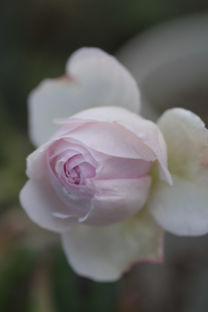 roses20171226-1.jpg
