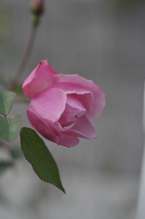 roses20171226-2.jpg