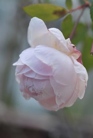 roses20171226-3.jpg