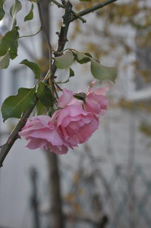 roses20171226-4.jpg