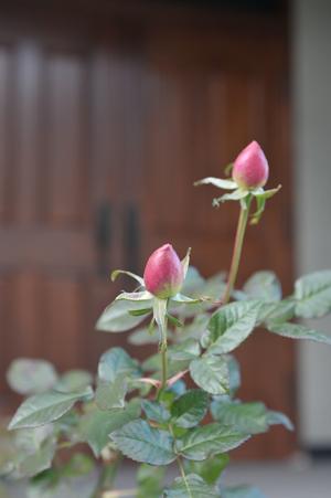 roses20171226-6.jpg