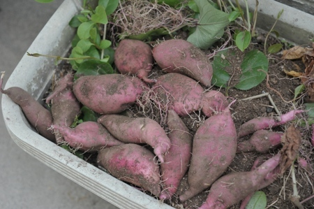 sweetpotato20171005-2.jpg