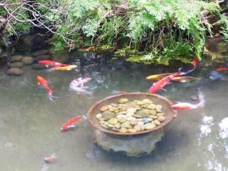 池の鯉3(2017-10-01)