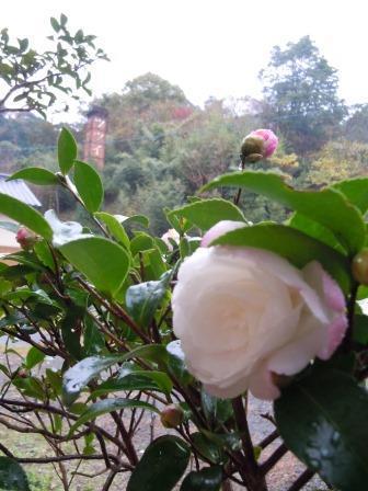 雨に咲く山茶花7(2017-11-22)