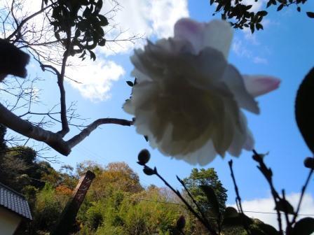 山茶花6(2017-12-1)