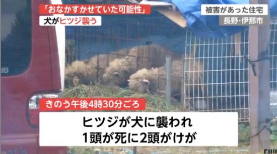 羊を襲った犬02