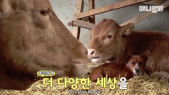 牛の出荷で泣く犬02