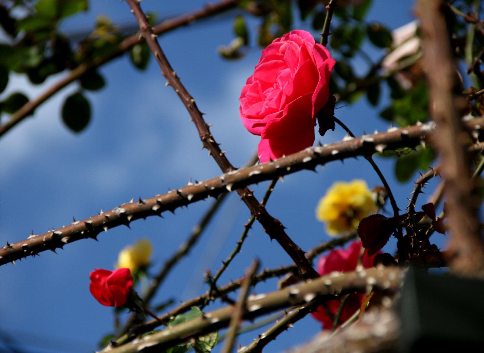初冬の返り咲き(1)