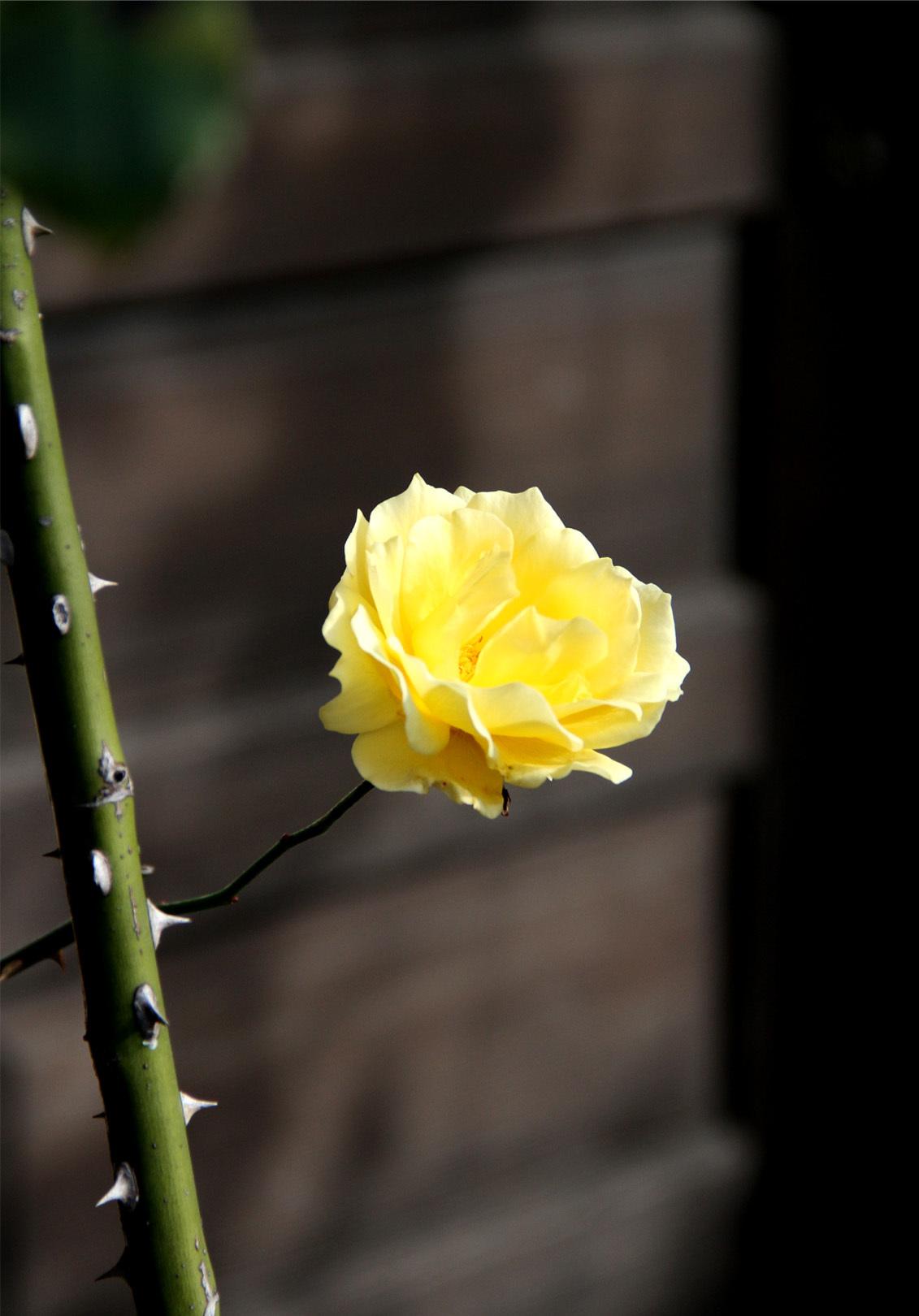 初冬の返り咲き(2)