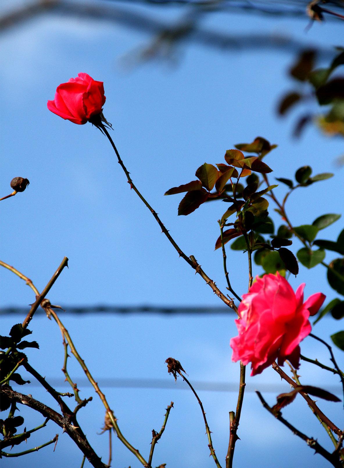 初冬の返り咲き(3)