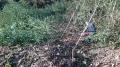 水路周辺竹伐採12月b