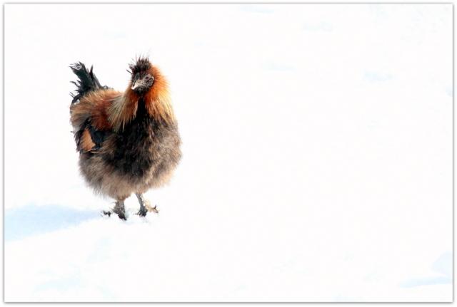 鳥骨鶏 鳥 写真