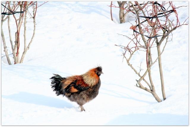 鳥骨鶏 写真 鳥
