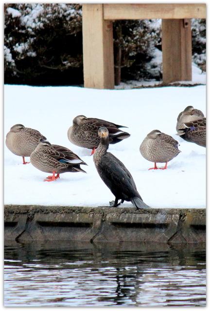 野鳥 鳥 写真 鵜 川鵜