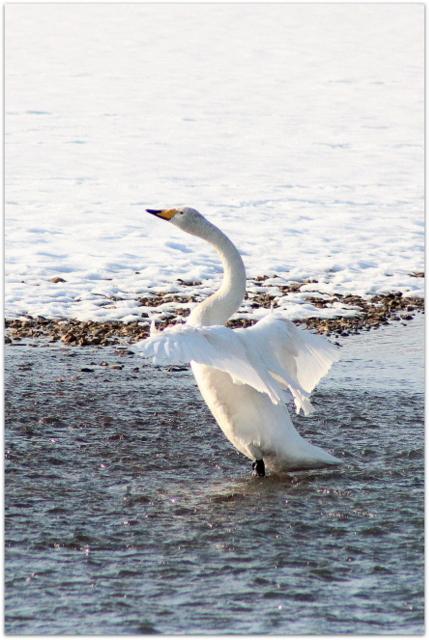 青森県 藤崎町 平川 白鳥 野鳥 鳥 ハクチョウ カモ 鴨 写真