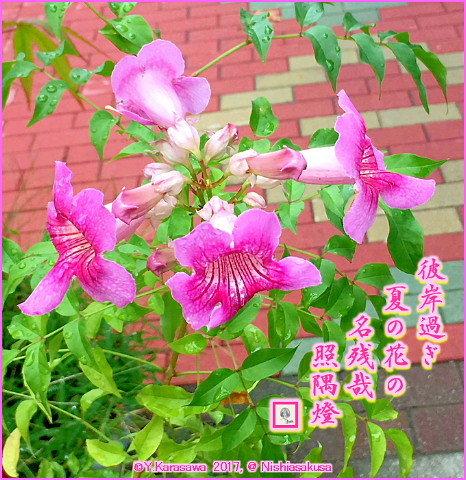 170925凌霄花赤紫