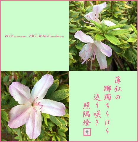 170926躑躅返り咲き