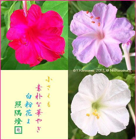 170927白粉花