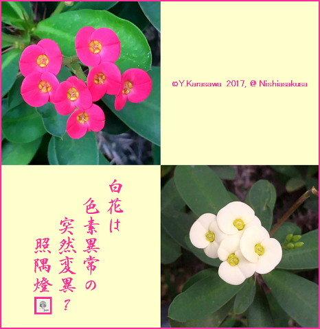 170928花キリン