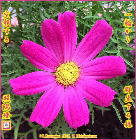 171002秋桜