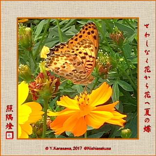 171011黄花秋桜に褄黒豹紋