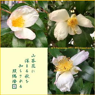 171013山茶花