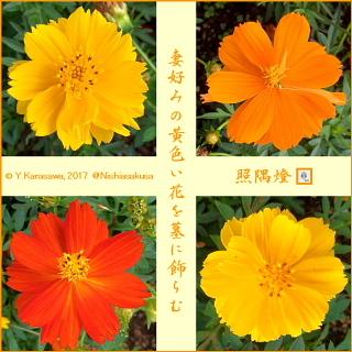 171015黄花秋桜