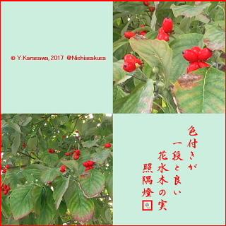 171024花水木の実