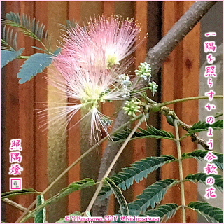 171030合歓の花