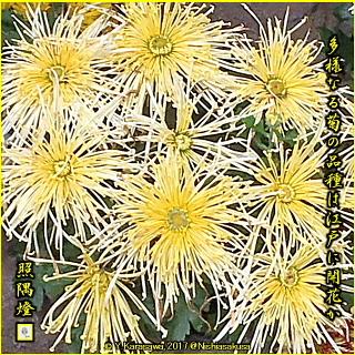 171101黄色い針管物菊