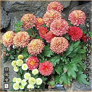 171102ポンポン咲き朱菊