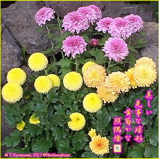 171103ポンポン咲きの黄菊