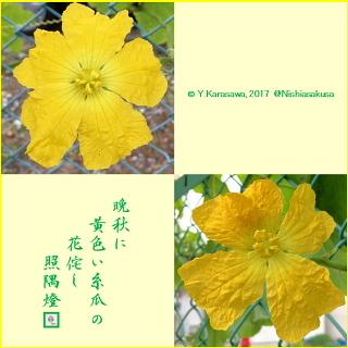 171104糸瓜の花