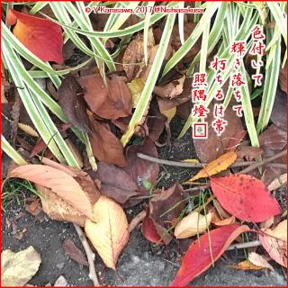 171110桜の落ち葉
