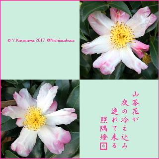 171117山茶花