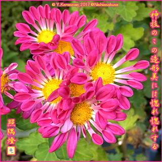 171119薔薇色管物中菊