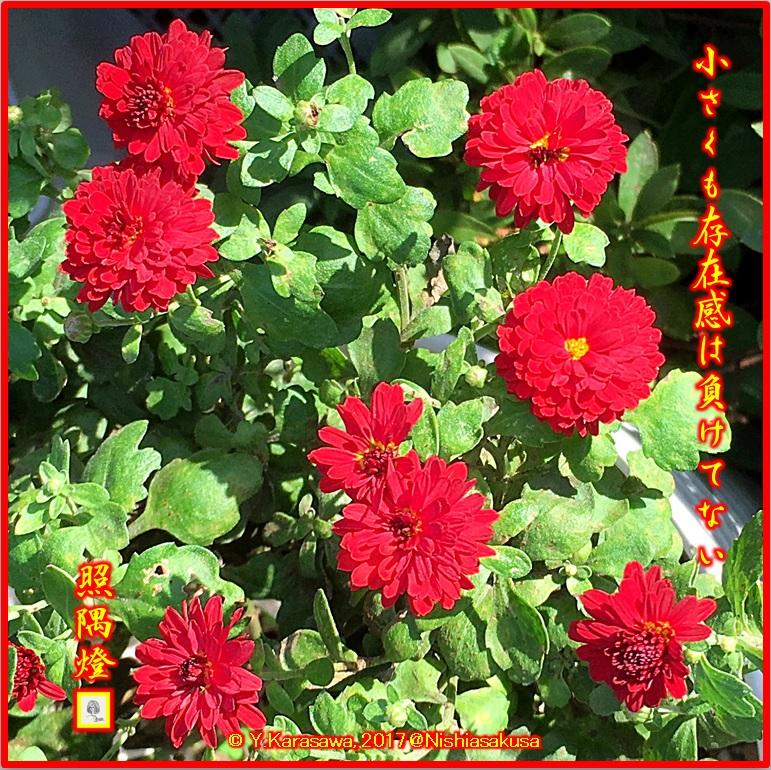 171125真っ赤な小菊LRG