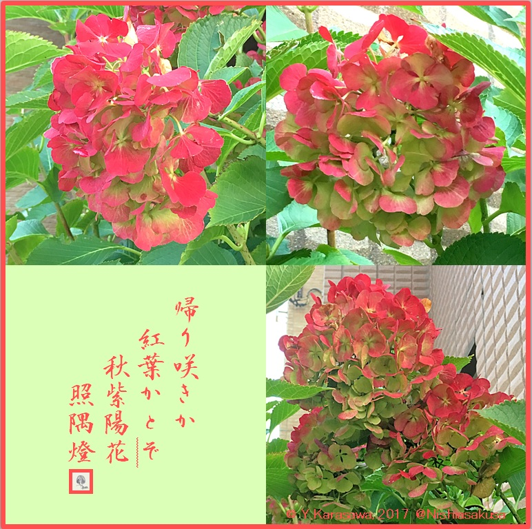 171129秋紫陽花LRG
