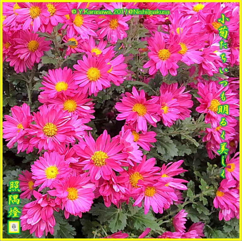 171130薔薇色の小菊LRG