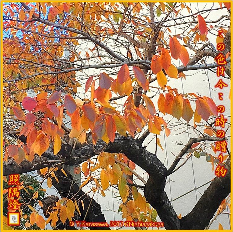 171203斑色の桜の紅葉LRG