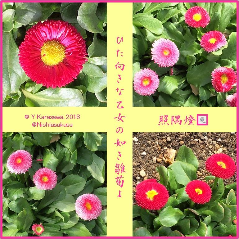 180205雛菊LRG