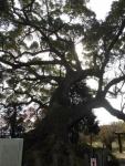 楠の大木(2017.11.25)