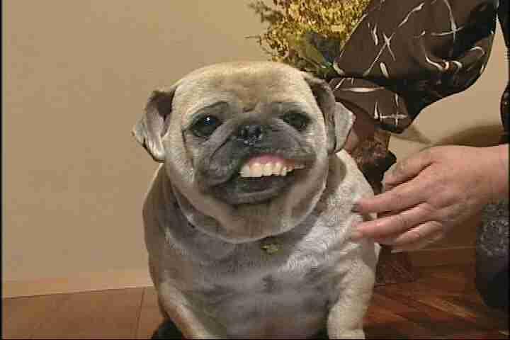 入れ歯をした 犬
