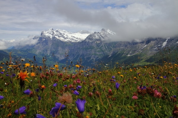 ユングフラウ 高山植物