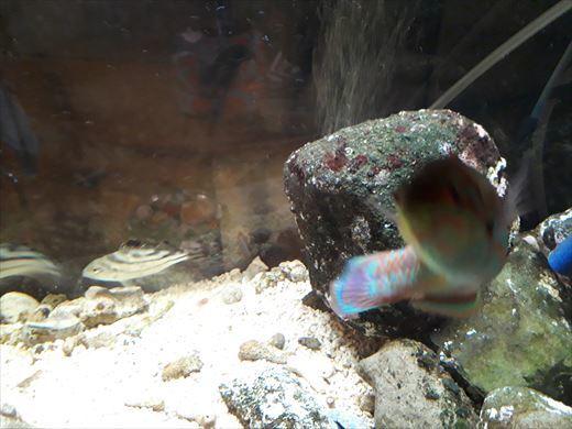 海水魚水槽 (8)