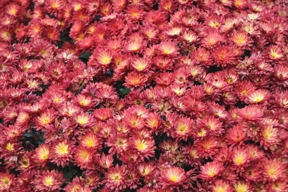 ざる菊の花